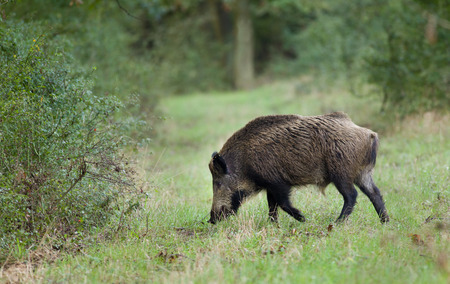 sus: Wild boar (sus scrofa) walking on grass in forest Stock Photo