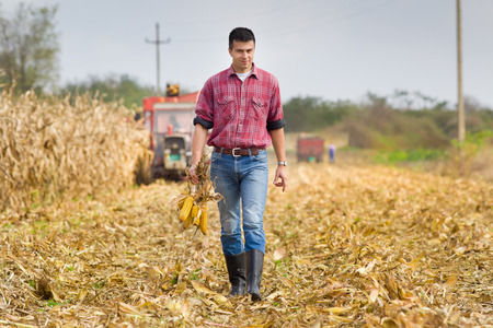 farmer: Young farmer walking on field and holding corn cobs during harvest