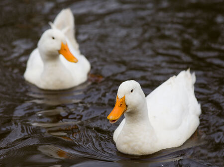 domestic duck: Two white ducks swimming in the lake