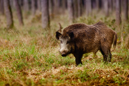 Wild boar (sus scrofa) walking in forest