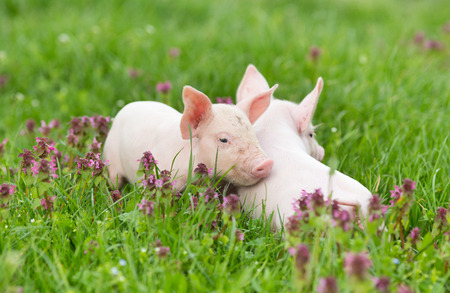 nudging: Cute piglets standing and nudging on grass