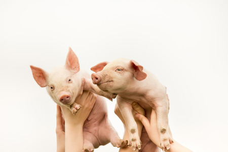 piglets: Two funny piglets up in the air