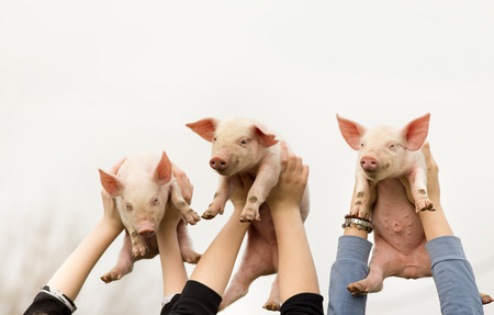 piglets: Three funny piglets in childrens hands high in the air