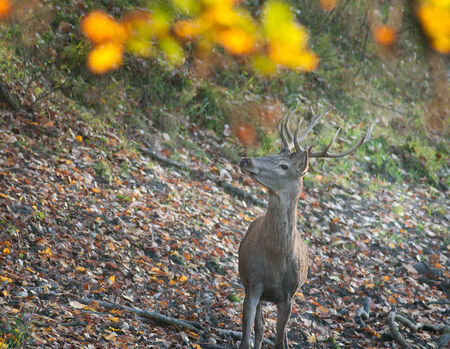 Close up of red deer standing on fallen leaves in autumn photo