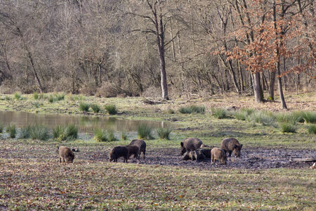scrofa: Wild boars looking for food next to pond in winter time