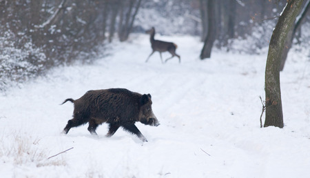 Wild animals walking on snow in forest (wild boar and red deer in background)
