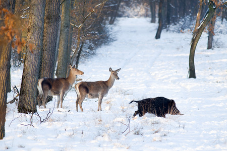 Wild animals standing on snow in forest ( red deer and wild boar) Stock Photo