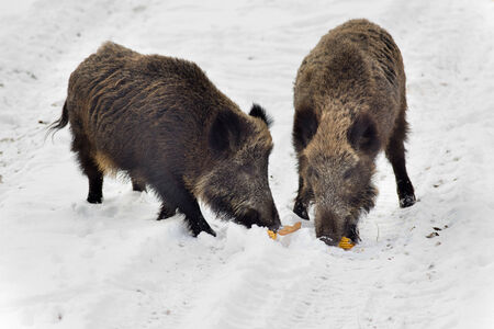corn on the cob: Two wild boars eating corn cob on the snow