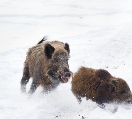 Young wild boar running away from older wild boar on the snow