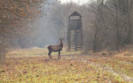 Cervo in piedi nella foresta con la caccia torre in background Archivio Fotografico