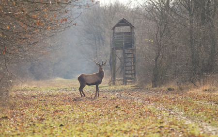 Red deer standing in forest with hunting tower in background