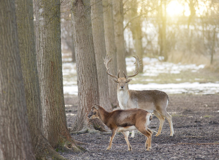 Couple of fallow deer walking in forest in winter time photo