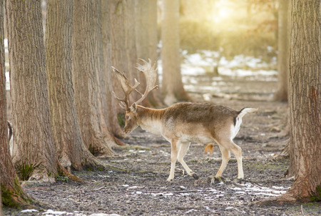 fallow deer: Fallow deer (dama dama) walking alone in forest in winter time Stock Photo