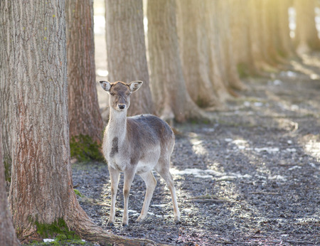 Female of fallow deer standing beside tree and looking at camera photo