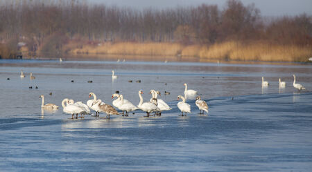large group of animals: Large group of swans standing on river coast in winter time