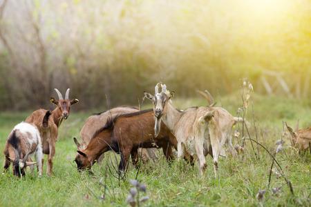 Kudde alpine geiten grazen op de weide en op zoek naar camera Stockfoto
