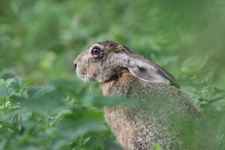 european rabbit: Cute european rabbit with big eyes peeking from high grass Stock Photo