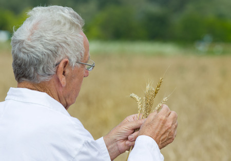 agronomist: Experienced agronomist in white coat examining wheat grains in field