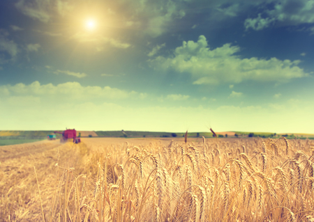 harvest: Landscape of fertile barley field during harvest in summer time Stock Photo