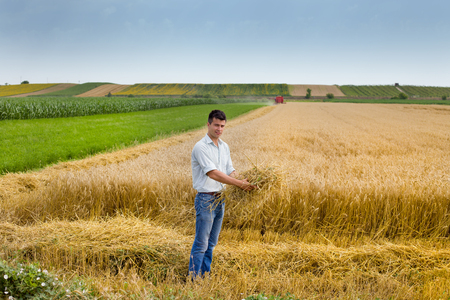 haymaking: Young farmer holding cut wheat straws on the field during harvest