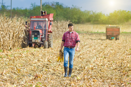 Young farmer walking on corn field with corncobs in hands during harvest