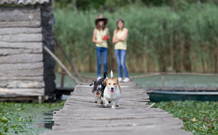 wooden dock: Two adorable dogs running on wooden dock on the lake