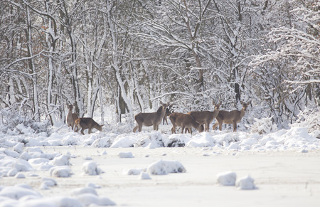 Group of hinds walking through forest on snow photo