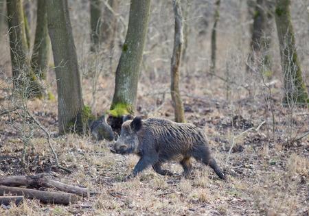 scrofa: Wild boar (sus scrofa) walking in forest