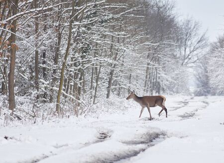 Afraid hind walking on snow in forest photo