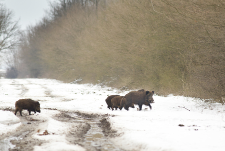 Wild boar (sus scrofa ferus) family walking on the snow in the forest