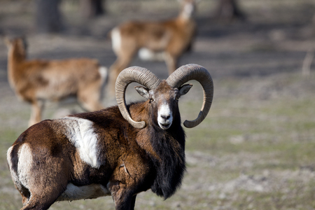 Close up of mouflon looking at camera and standing on grassland in herd
