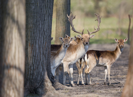 fallow deer: Fallow deer family standing in forest and looking at camera
