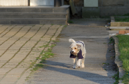 without clothes: Cute small dog in sweater walking on dirty street without leash Stock Photo