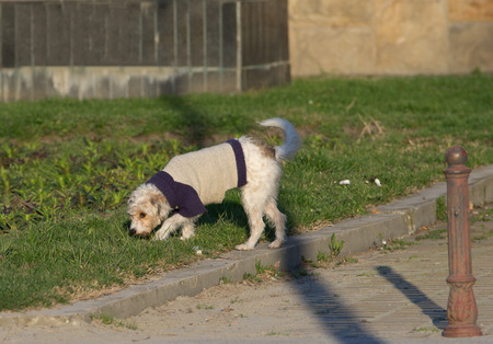 sniffing: Cute fluffy dog in sweater walking on grass and sniffing around