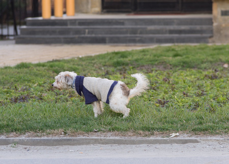 urination: Female dog peeing on grass on the street Stock Photo