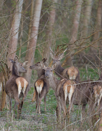 small group: Small group of afraid hinds stnading in forest