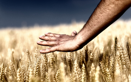 Close up of male hand touching golden wheat ear photo
