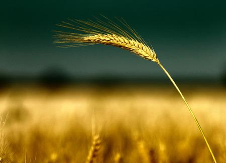 afield: Close up of golden barley ear in summertime