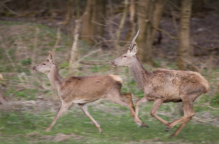 hind: Afraid red deer and hind running away in forest in springtime, panning technique