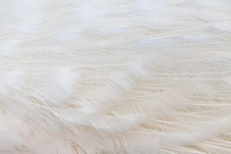 Close up of white feather texture, horizontal image 版權商用圖片