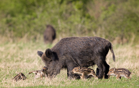 Wild boar family, mother with piglets walking on grass on sunny day photo