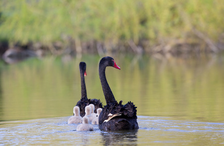cygnus atratus: Black swan parents with their cygnets in the lake
