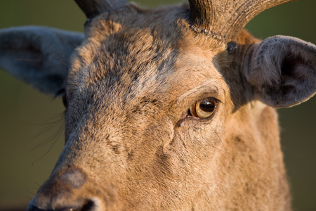fallow deer: Close up of Fallow deer head, looking ahead Stock Photo