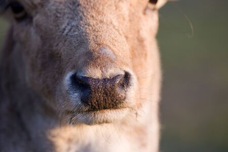 nose close up: Close up of fallow deer nose on sunlight from side Stock Photo