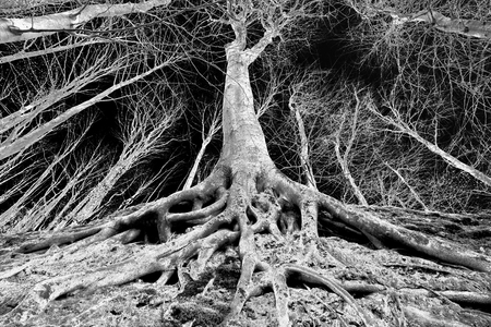 deep roots: Spooky forest landscape with perspective of tree with big roots on the ground, black and white image Stock Photo
