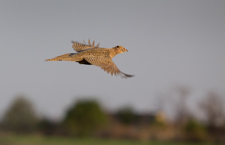 gamebird: Close up of pheasant hen flying over grassland Stock Photo