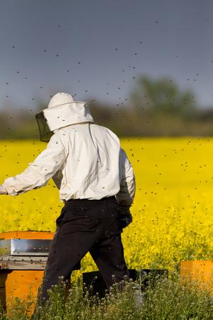 apiarist: Apiarist working in rapeseed field in springtime