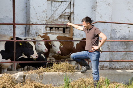 Gelukkig boer staande naast jonge stieren op veeboerderij Stockfoto
