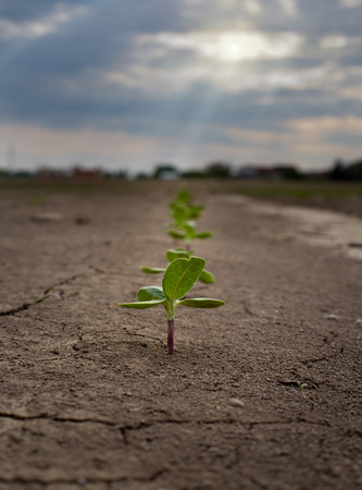 Close up of sunflower sprouts growing from dry soil Stock Photo - 39333163