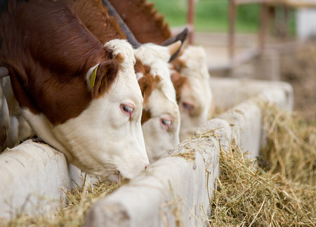 Bulls eating lucerne hay from manger on farm 版權商用圖片